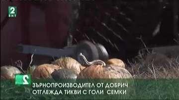 Зърнопроизводител от Добрич отглежда тикви с голи семки