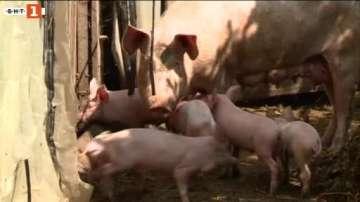 Глобиха стопани в Русенско, скрили прасета от ветеринарните власти