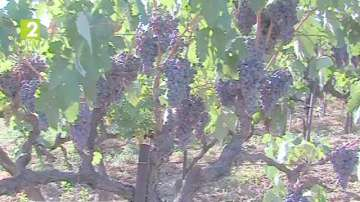 Охраняват гроздобера в Пазарджик и региона