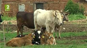 Заразата по кравите плъзна и в община Хисар