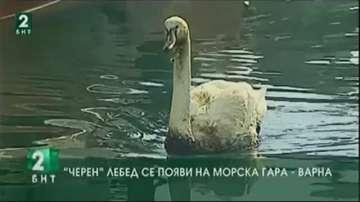 """""""Чeрен"""" лебед се появи на Морска гара - Варна"""