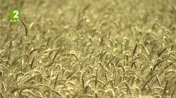 Зърнопроизводителите очакват одобрение за субсидии