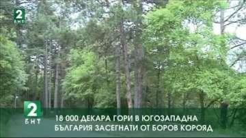 18 хиляди декара гори в Югозападна България са нападнати от боров корояд