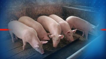 Над 9 млн. лева са раздадени за дезинфекция на личните стопанства срещу АЧС