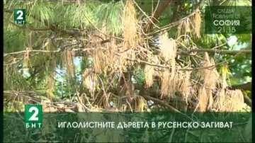 Иглолистните дървета в Русенско загиват