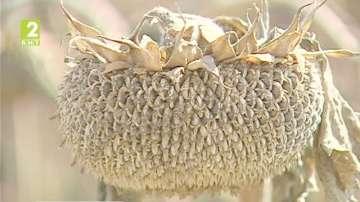 Добри добиви на слънчоглед в Община Сливо поле