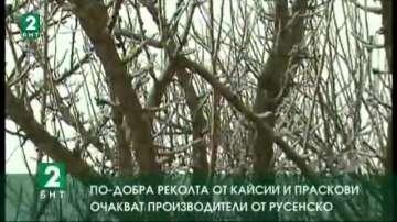 По-добра реколта от кайсии и праскови очакват производителите от Русенско