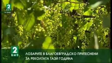 Лозарите в Благоевградско притеснени за реколтата тази година