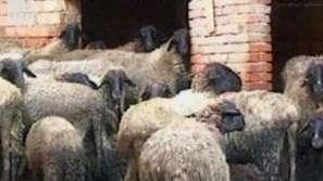 Прочута порода овце на изчезване