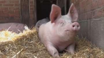 Чумата по свинете се разраства и в Румъния