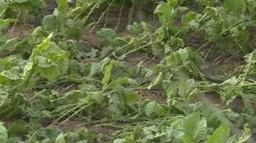 Градушка унищожи тютюневата реколта в Сатовча