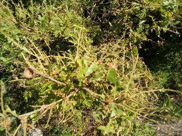 снимка 2 Гората на връх Милин камък е нападната от гъсеници