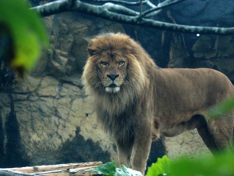 откриха древен лъв голям полярната мечка