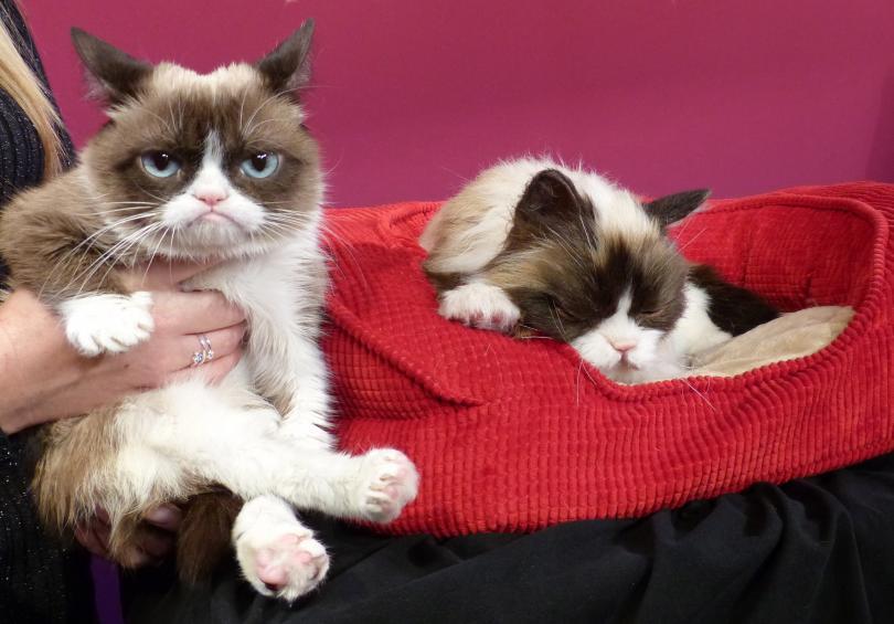 Гръмпи Кат (Сърдитата котка) известна в интернет заради своето кисело
