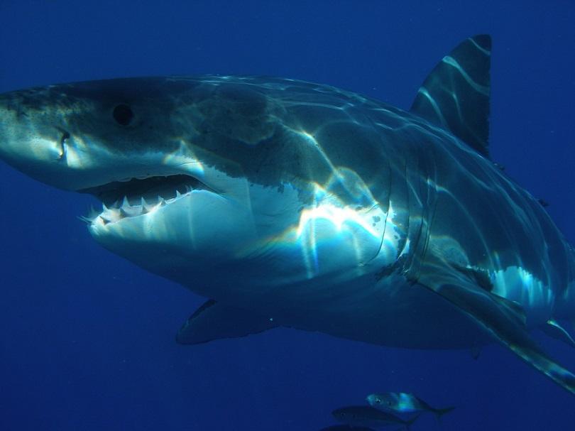 Затоплянето на океаните води големите бели акули в британски води