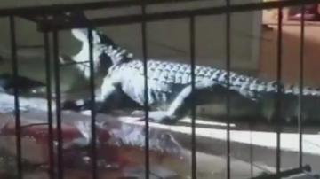 Неканен гост: Алигатор нахлу в кухнята на домакиня от Флорида