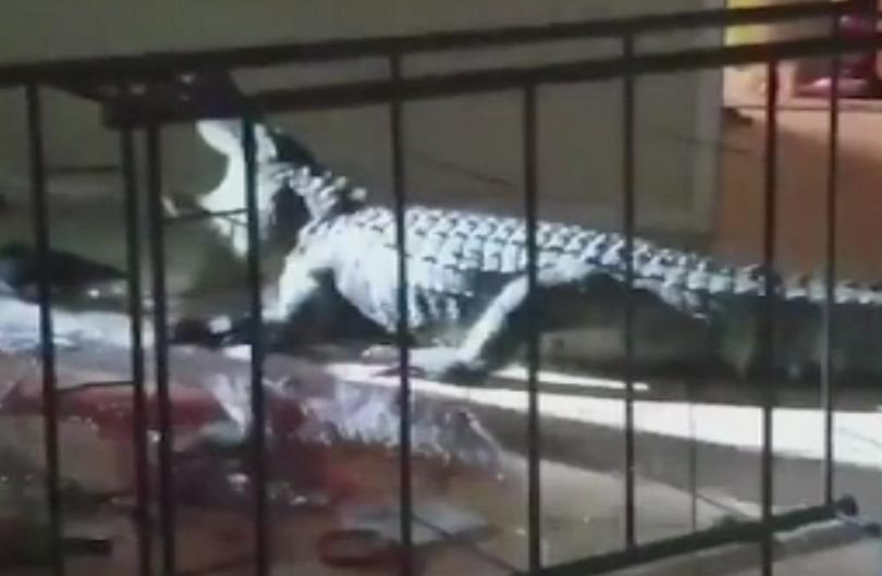 77-годишна жена от Флорида откри 4-метров алигатор в кухнята си