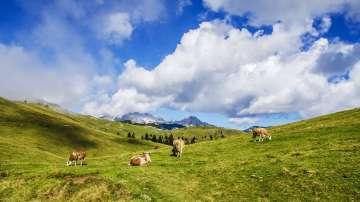 В Австрия издадоха наръчник за срещи с крави на алпийски пасища