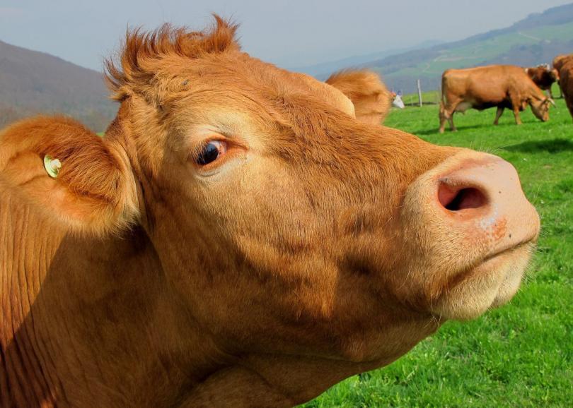 снимка 2 В Австрия издадоха наръчник за срещи с крави на алпийски пасища