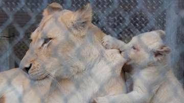 Игри с бели лъвчета