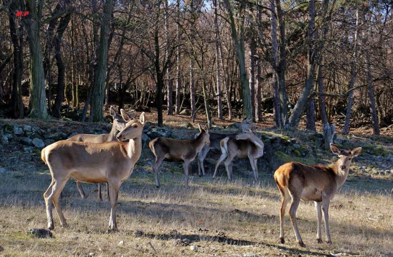 Благородни елени намериха нов дом в Източните Родопи