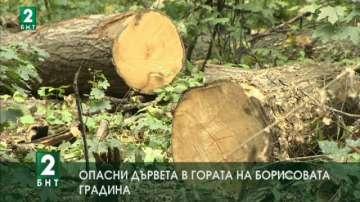 Опасни дървета в гората на Борисовата градина