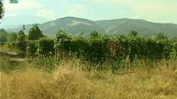 Масови кражби на грозде в община Родопи