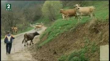 Драстично намаляват кравите в стопанства в Родопите