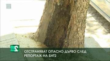 Отстраняват опасно дърво следрепортаж на БНТ 2