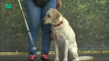 Кучета водачи помагат на диабетици и хора с двигателни и зрителни увреждания