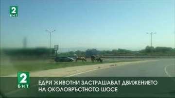 Едри животни застрашават движението на Околовръстното шосе на София