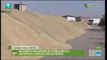 Жътвата на ориза в Пловдивско започна с месец закъснение
