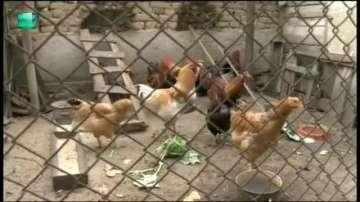 Нюкясълска болест по птиците в Пазарджишко