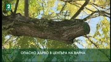 Опасно дърво в центъра на Варна