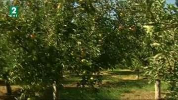 Производители на ябълки от Русенско трудно пласират плодовете си