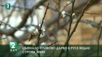Цъфнало сливово дърво в Русе вещае сурова зима