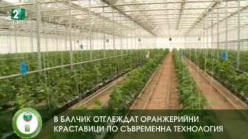 Оранжерийни краставици, отгледани по съвременна технология