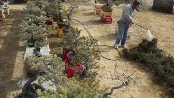 В Япония търсят откраднати бонзаи за 100 000 долара