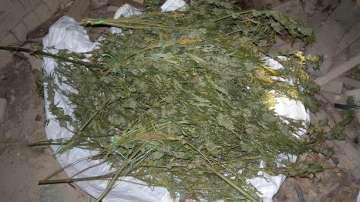 Над 42 кг сух канабис откриха спецполицаи във видинско село