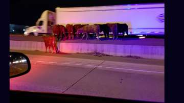 Хаос на канадска магистрала заради... стадо крави