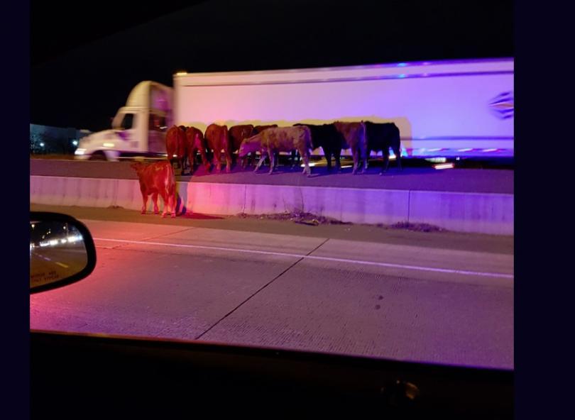 Стадо крави предизвика хаос на една от магистралите в Канада,
