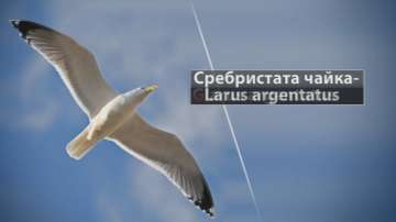 И чайките дойдоха в София