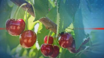 Полиция и военна техника отново ще пазят черешовите градини в Кюстендилско