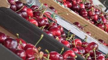 Жандармерия отново пази прибирането на реколтата от череши