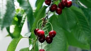 Към момента няма засегнати черешови насаждения в Кюстендилско