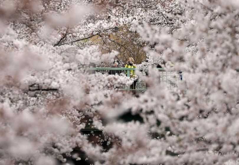 снимка 1 Фестивал на вишневите цветове във Вашингтон