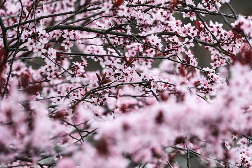 фестивал вишневите цветове вашингтон