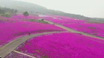 Паркът на розовия мъх в Китай разцъфтя