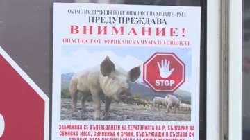 До момента в България има само едно огнище на африканска чума по свинете