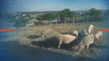 В Зидарово евтаназираха над 100 прасета заради африканската чума